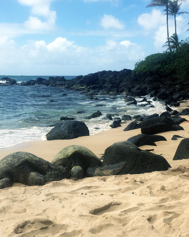 turtle beach oahu honolulu hawaii Laniakea beach