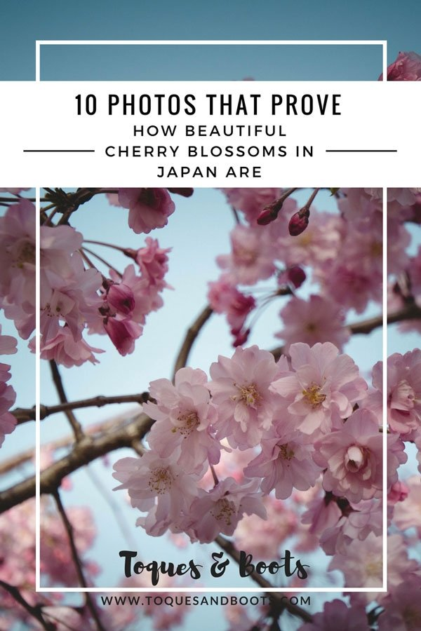 Seeing cherry blossoms in Japan is truly a spectacular and these 10 photos of cherry blossoms in Japan prove just how beautiful the country becomes.